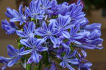 Agapanthus \'Ever Blue\'
