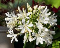 Agapanthus \'Kilmurry White\'