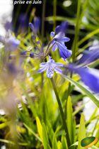 Agapanthus \'Lapis Lazuli\'