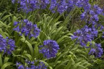 Agapanthus \'Midnight Blue\'