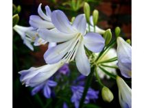 Agapanthus \'Silver Baby\'