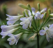 Agapanthus \'Silver Moon\'