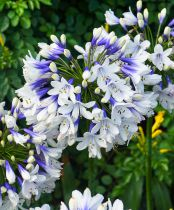 Agapanthus \'Twister\'