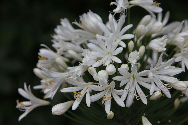 agapanthus white heaven