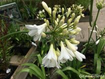 Agapanthus \'White Ice\'