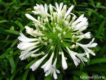 Agapanthus \'White Umbrella\'