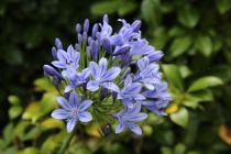 Agapanthus africanus Blue Panache ® \'Baraga\'