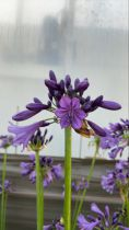 Agapanthus hybride \' Poppin\'Purple\'
