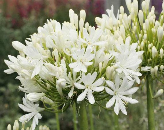 Agapanthus-Getty-White