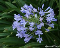 Agapanthus praecox Blue