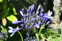 Agapanthus umbellatus \'Blue\'
