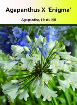 Agapanthus x \'Enigma\'