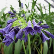 Agapanthus x \'Midnight Dream\'