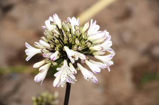 Agapanthus x Graphite® White