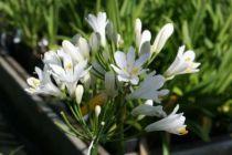 Agapanthus x L\'amour d\'été blanc