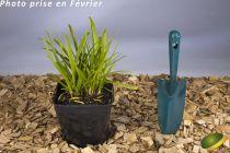 Agapanthus x Pitchoune ® blue \'Scrarey09\'