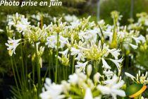 Agapanthus x Pitchoune ® White \'Tur161\'