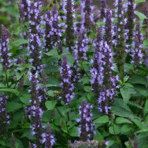 Agastache \'Astello Indigo\'