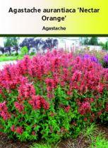Agastache aurantiaca \'Nectar Orange\'