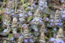 Ajuga reptans \'Evening Glow\'