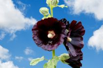 Alcea \'Black Knight\'