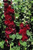 Alcea rosea \'chater\'s double scarlet rouge\'