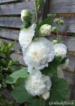 Alcea rosea \'chater\'s double white\'