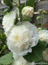 Alcea rosea \'chater\'s double white\'
