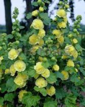 Alcea rosea \'chater\'s double yellow\'