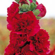 Alcea rosea \'Pleniflora Rubra\'