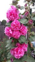 Alcea rosea Chater\'s Double Pink\'
