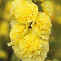 Alcea rosea pleniflora jaune