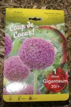 Allium \'Giganteum\'