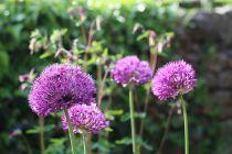 Allium \'Millenium\'