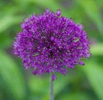 Allium \'Purple Sensation\'