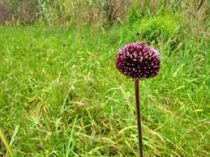 Allium amethystinus \'Red Mohican\'