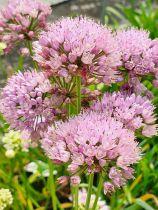 Allium angulosum