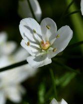 Allium cowanii (= neapolitanum)