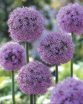 Allium giganteum \'Gladiator\'