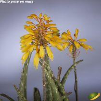 Aloe hybride \'Safari\'