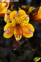Alstroemeria \'Summer Breeze\'®