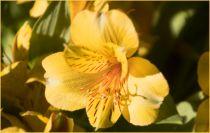 Alstroemeria colorita