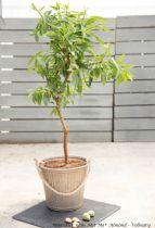 Amandier nain Nut Me® Almond - Prunus dulcis