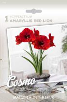 Amaryllis rouge \'Red Lion\'