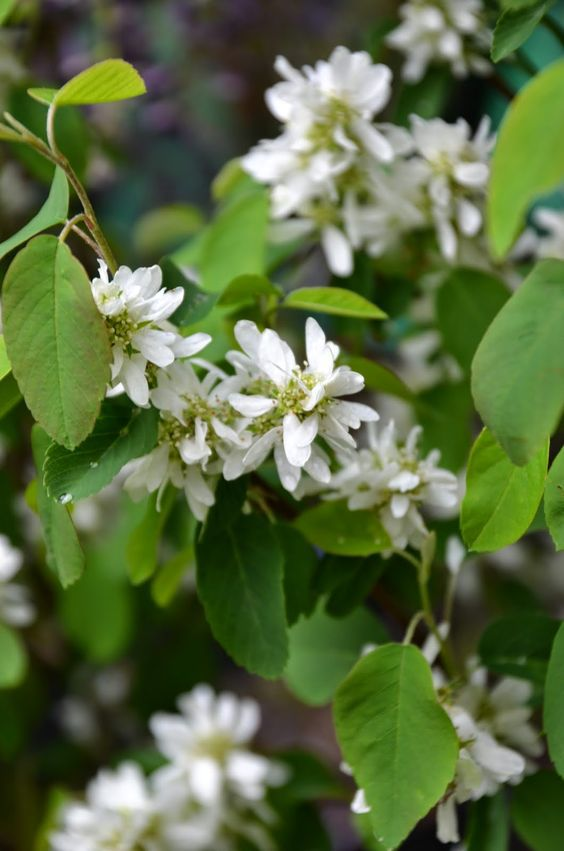 amelanchier alnifolia 39 obelisk 39 grandiflora. Black Bedroom Furniture Sets. Home Design Ideas