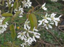 Amelanchier* canadensis