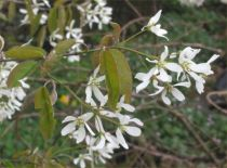 Amelanchier_canadensis_