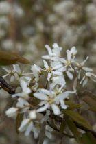 Amelanchier canadensis, gros arbuste à fleurs blanches au printemps, couleurs de feuillage au printemps et à l\'automne, baies noires.