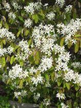Amelanchier lamarc. fleurs