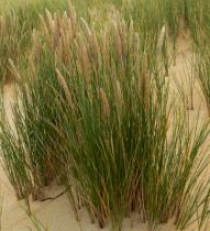 Ammophila arenaria